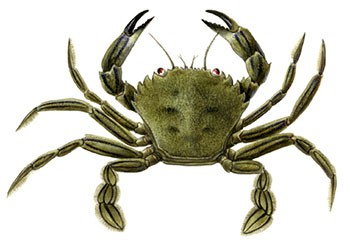 FIS - Companies & Products - Velvet crab fishery in Northern Ireland needs  better management